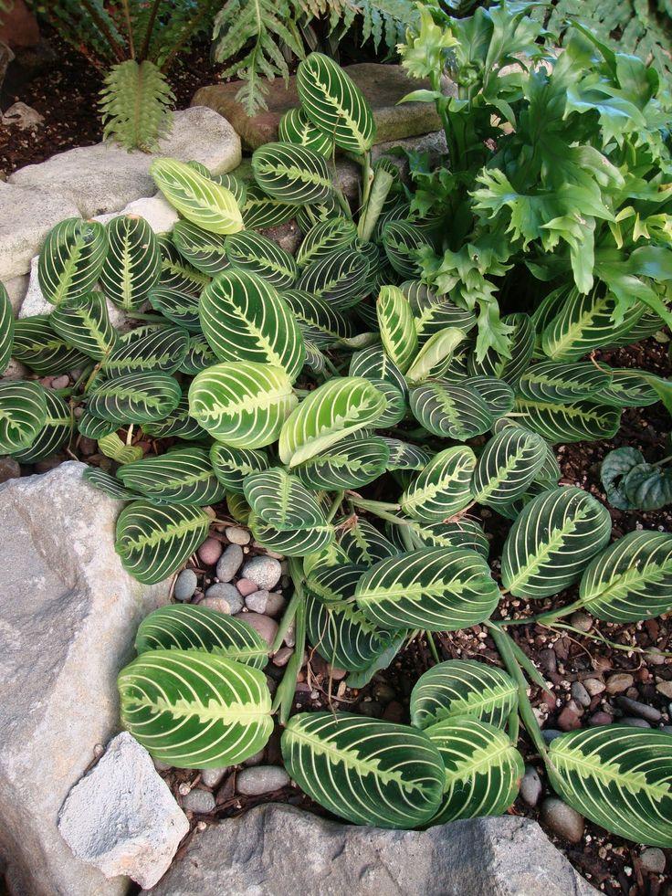 prayer plants and little little on pinterest