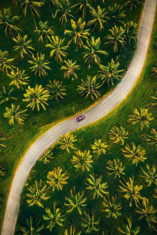 coconut trees. plam trees. tropical vacation. destination. road tripping. driving through nature. long winding roads. aerial shot. greenery.