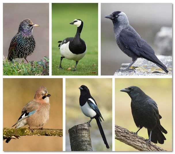 Vlaamse regering verklaart zes vogels vogelvrij
