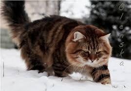 Risultati immagini per gatto siberiano