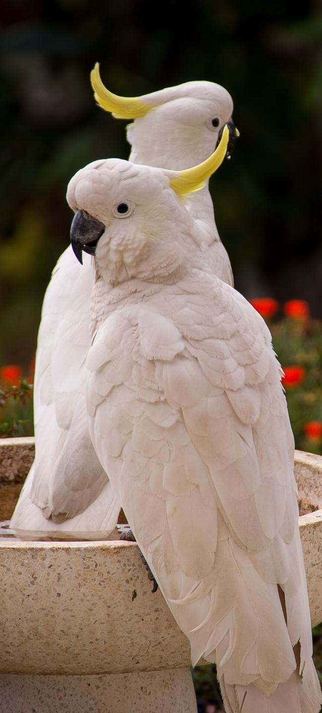 Espelhos para papagaios – um tópico muito controverso. Este artigo irá mostrar-lhe o que …   – Pets And Pet Care