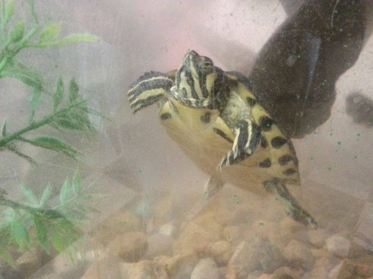 One of our Yellow Belly Turtles