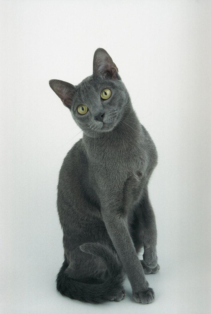 Russian blue cat breeder ontario canada