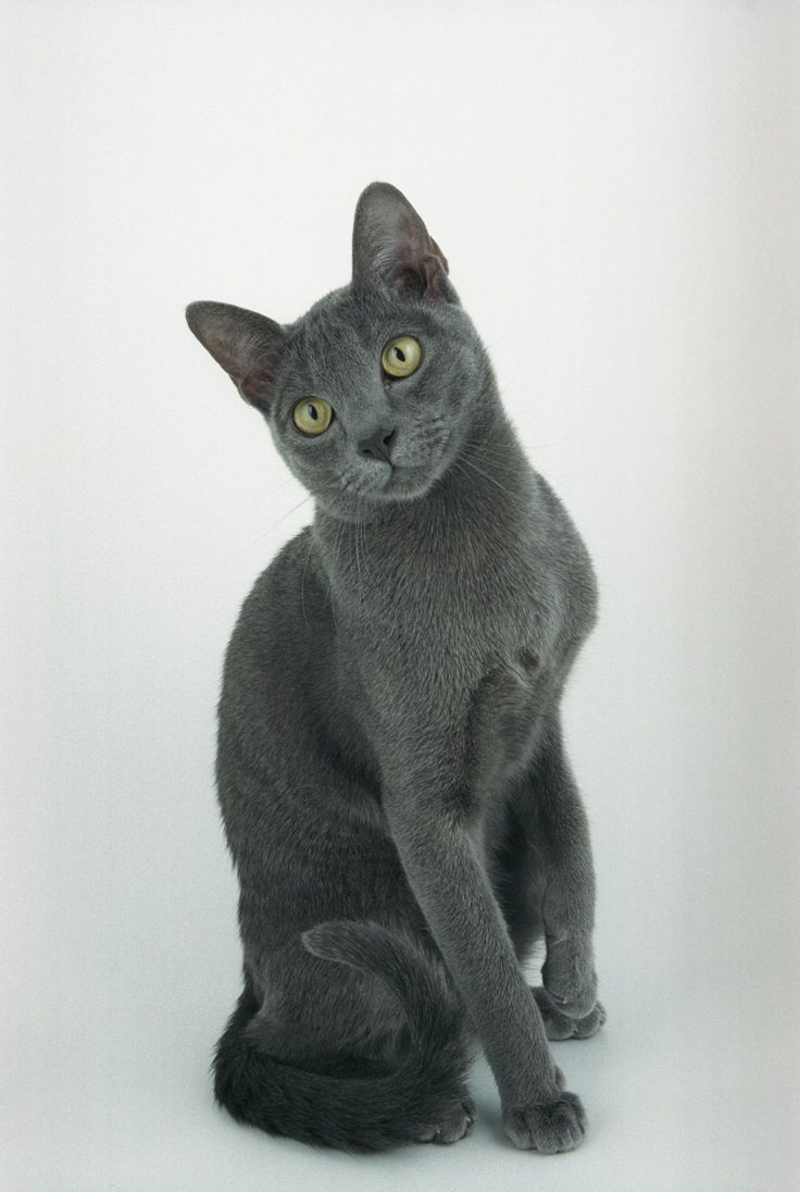 ... For Sale Korat Cats For Sale Korat Cats up For Stud Korat Breeders -What kind of cat breeds fit you most at catsincare.com!