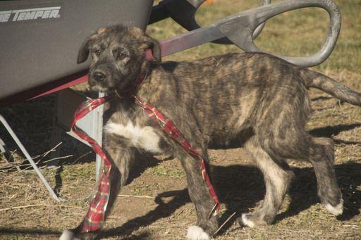Litter of 4 Irish Wolfhound-Saint Bernard Mix puppies for sale in BLACKFOOT, ID. ADN-21086 on PuppyFinder.com Gender: Female. Age: 13 Weeks Old