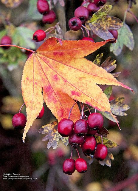 Leaf Berries by Gary Grossman (on and off), via Flickr