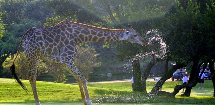 Golfing Safari - South Africa