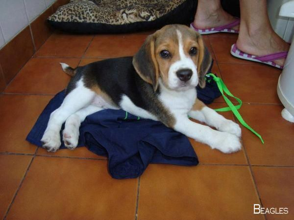 All About The Happy Beagle Puppy Grooming Beaglemasters