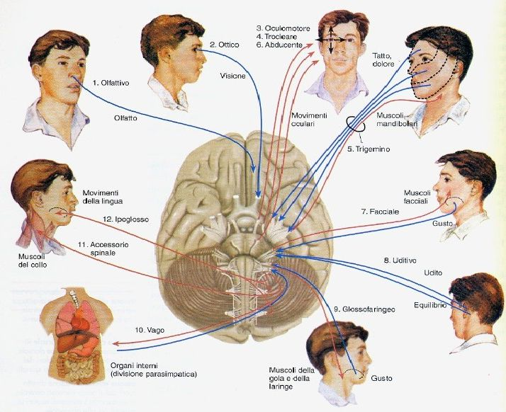 L'esame dei XII nervi cranici: la valutazione neurologica - Seguici su nursetimes.org - Giornale di informazione sanitaria - #NurseTimes