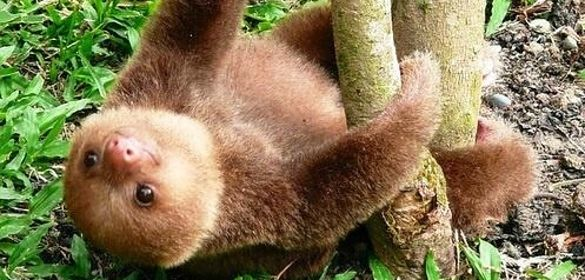 A baby sloth & 13 other Animals To Fawn Over If You're In A Cuteness Rut - BuzzFeed
