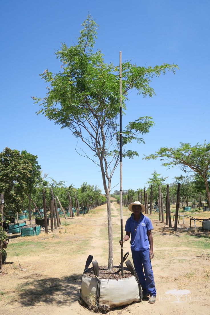 400L Caesalpinia ferrea. The deciduous Leopard tree is named so because of its beautifully textured bark. Originating from Brazil, its delicate branches and attractive leaves cast light shade that is suitable for grass-growing.