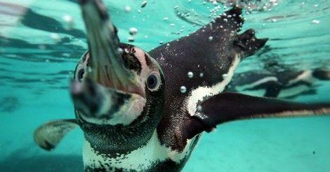Chile rechaza un proyecto minero para salvar a los pingüinos humboldt