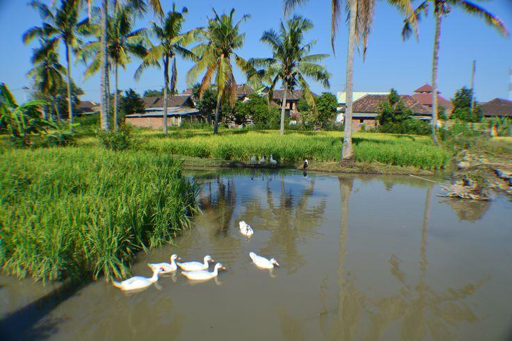 Muscovy Duck (mentog) at Moyo Hilir districk , Sumbawa #Indonesia