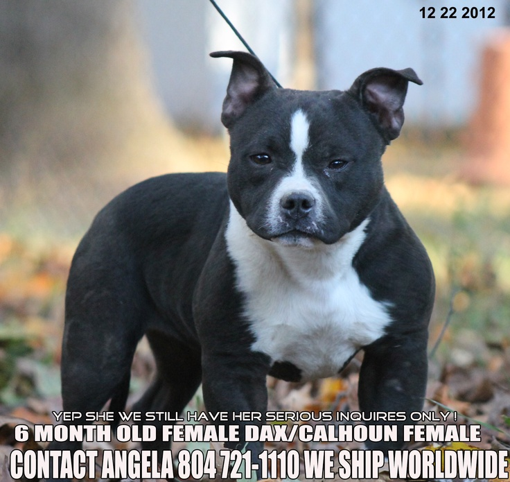 6 MONTH OLD AMERICAN BULLY FEMALE FOR SALE CONTACT 804 721