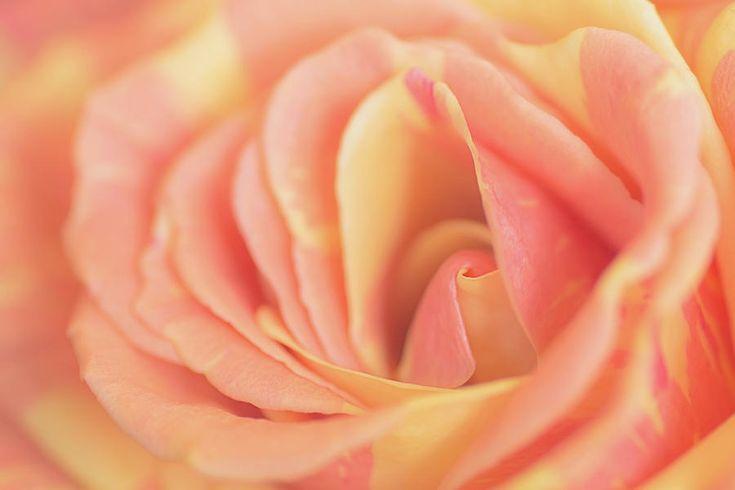 Close Up Of Rose Photograph by Irina #IrinaSafonova#Works  #FineArtPhotography #HomeDecor #IrinaSafonovaFineArtPhotography  #ArtForHome #FineArtPrints #HomeDecor#Flora#Flower