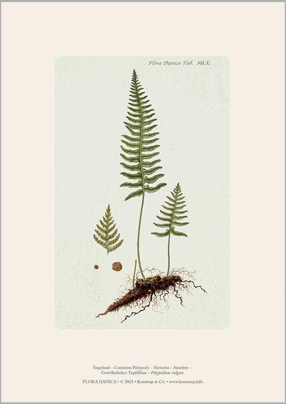 Engelsød-A4 kunsttryk fra Flora Danica værket.