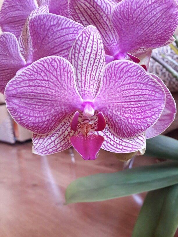 Орхидея фаленопсис Orchid Phalaenopsis