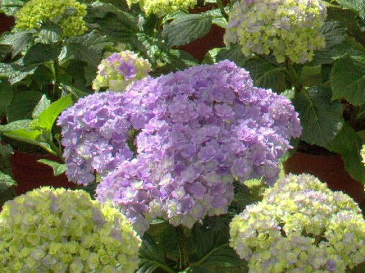 91 best images about hortensien on pinterest you and me shops and hydrangea paniculata