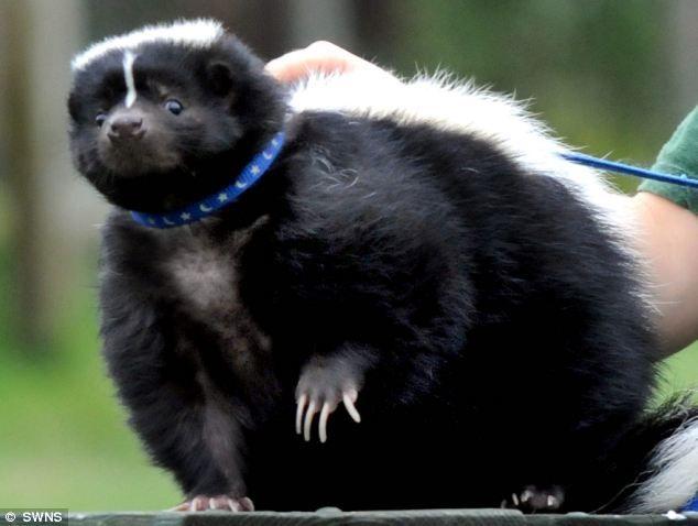 Pepe le HUGE: Pet skunk on strict eating regimen after ballooning on eating regimen of bacon butties