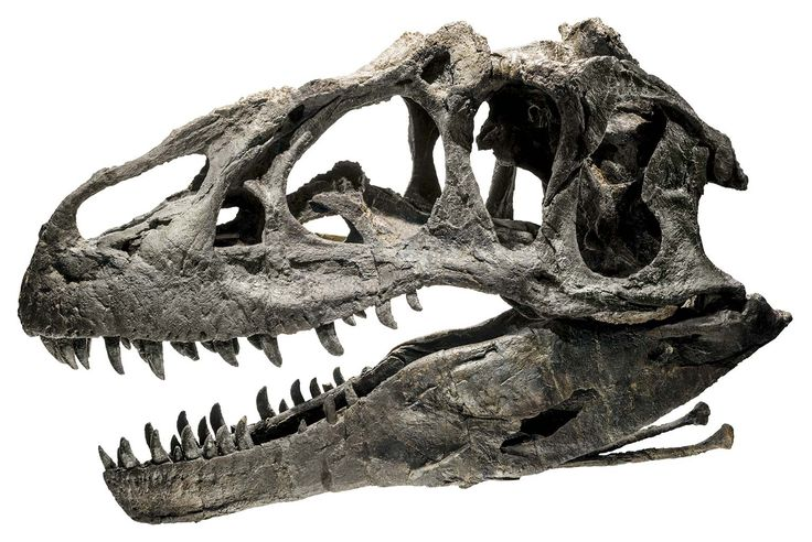 Defense of catastrophism (and creationism) via the evidence of an allosaurus fossil :)