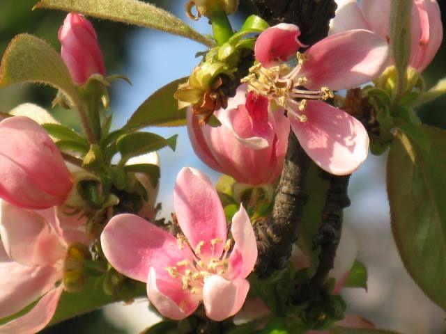 11月4日の誕生日の木は「カリン(榠樝)」です。  バラ科カリン属の落葉高木です。原産地は中国東部。日本への伝来時期は不明ですが、平安時代までには渡来していたといわれています。古くから薬用や観賞用などとして利用されていました。カラナシ、カリントウ、アンランジュ、キイボケなどの別名を持ちます。 樹高は、6m~8m。開花期は、4月~5月。新しく伸びた枝の先端に直径3cmほど紅花色の花を咲かせます。葉の形は卵形か丸に近いだ円形でフチは細かいけれど尖ったギザギザになっています。成長していくと樹皮がところどころウロコ状に剥がれ落ち、黄褐色の木肌がまだらに露出します。 カリンは鑑賞価値が高く、花・幹・果実ともに楽しめ、また新緑・紅葉もとても美しいため、庭木、鉢植え、盆栽などとしても楽しまれています。