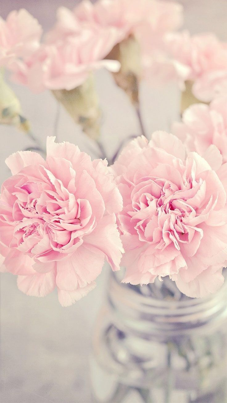 Iphone Wallpapers – My Favorite flower {pink carnation}🌹 Referred to as God's flowers or Heav…