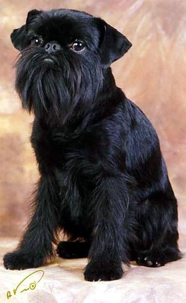 Brussels Griffon dog. Oh I love the way he has been groomed. I would love for my little Max to have hi              s head and ears done so neatly.