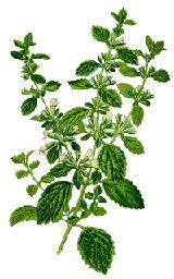 Bálsamo de limón/melisa fue dedicado a la diosa Diana, y se utiliza medicinalmente por los griegos hace unos 2.000 años.