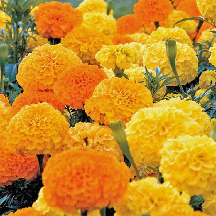 African Marigold Seeds ( crackerjack) Tagetes erecta- Perfect for edging the front of the sunny flower garden or for baskets and containers.