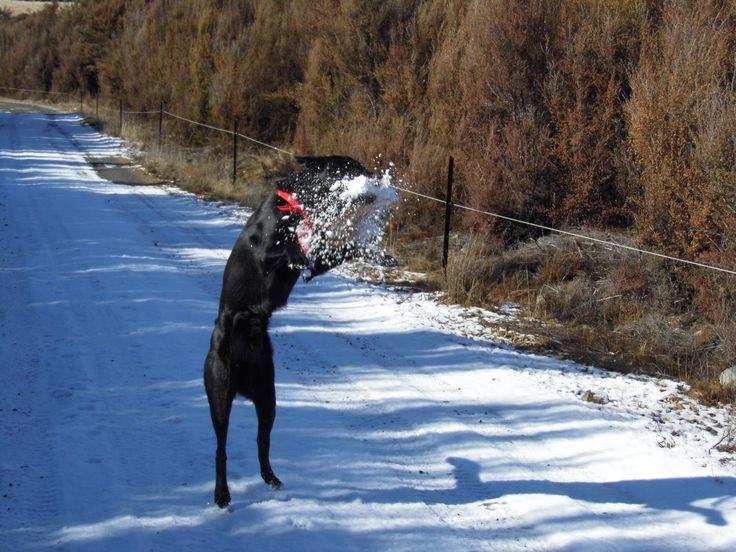 SHADOW. My Australian Kelpie with a snow ball!