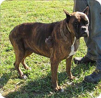 Cleveland, TN Boxer Mix. Meet Begee a Dog for Adoption.