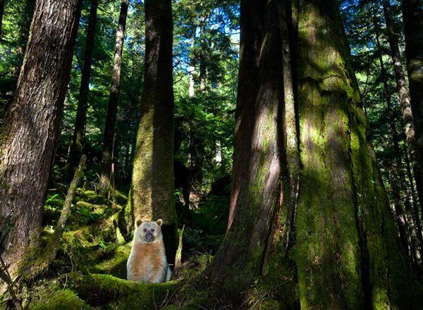 """Un orso kermode si solleva dal suo comodo giaciglio di muschio tra gli alti fusti delle tuie giganti. Gli orsi usano questi """"letti"""" di muschio per riposarsi di giorno dopo aver mangiato."""