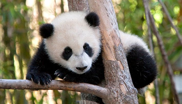 Giant pandas are very vocal animals. Young cubs are known to squeal and croak,