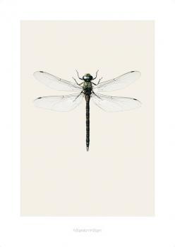 Hagedorn & Hagens ultraskarpe bilder av vakre sommerfugler og insekter er et blikkfang på veggen. Trykt på kvalitetspapir, 42 x 59 cm.  To størrelser:  Medium:42 x 59 cmStor: 70 x 100 cmMå bestilles i egen ordre da rullen ikke kan sendes sammen med andre varer p.g.a formatet på pakken.Men dukan gjerne bestille flere bilderpå en bestilling.      By Nord, Tine K, Day Home, Bacsac, House Doctor, Ferm Living, Kähler, Bros...