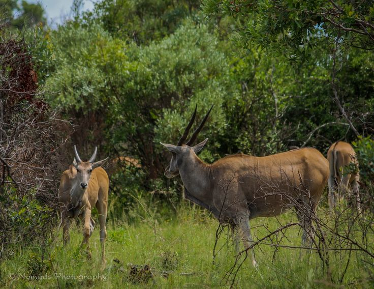 """Conversing - The Eland is the world's largest antelope. Males have twisted horns which are thick and tightly spiralled, growing up to 25"""" in females and to 50"""" in males. Eland belong to the same group as kudus, nyala and bushbuck."""