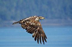 Immature Bald Eagle(r)