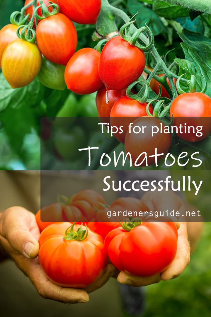 Tips For Planting Tomatoes Successfully Tomatoes Gardening Tips