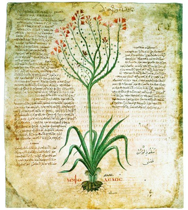 Asphodelus ramosus. Da Dioscoride, De materia medica, circa 512, Österreichische Nationalbibliothek, Cod. med. gr. 1.