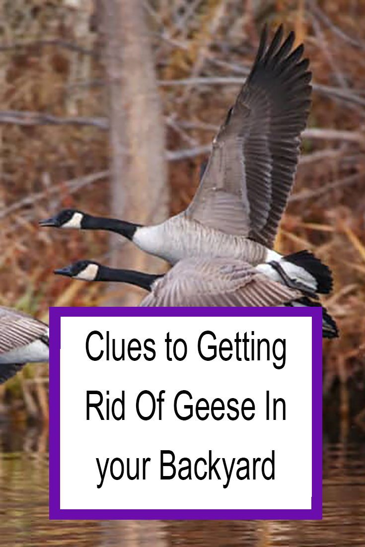 How to Get Rid of Geese in Your Backyard for Good 2020 ...