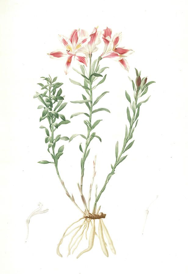 Alstroemeria Pelegrina Lily Of Lima Peruvian Lily Is A Drawing By Artokoloro Which Was Uploaded On Februa Lilies Drawing Peruvian Lilies Vintage Illustration