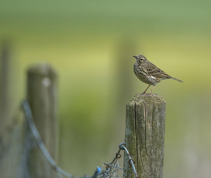 Osgoldcross Photography posted a photo:  A rather thoughtful Meadow Pipit perched on a fence post at Frickley Country Park in South Elmsall.