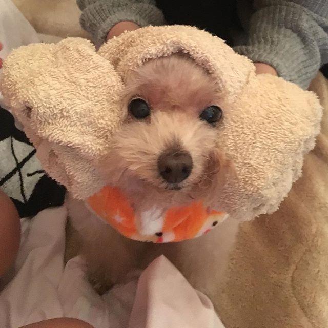 양머리❤️w 洗濯物をたたむ邪魔するから 着せ替えで遊ばれるww #トイプードル#トイプー#トイプードル部#愛犬#犬#ペット#着せ替えわんこ#ヤンモリ#甘えん坊#토이푸들#개#멍멍이#양머리#개스타그램 #toypoodle#dog#dogstagram#pet#petsagram