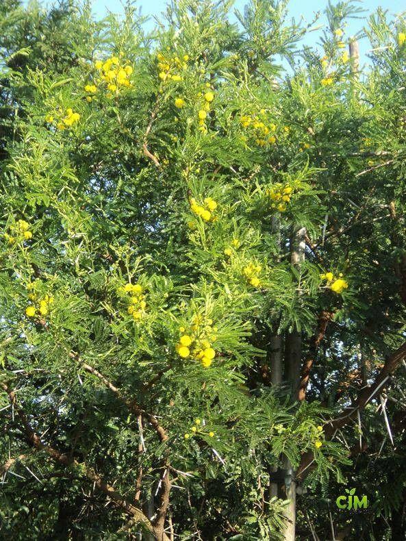 Vachellia Karroo Acacia Karroo In 2020 Trees To Plant Flowers Photography Plants