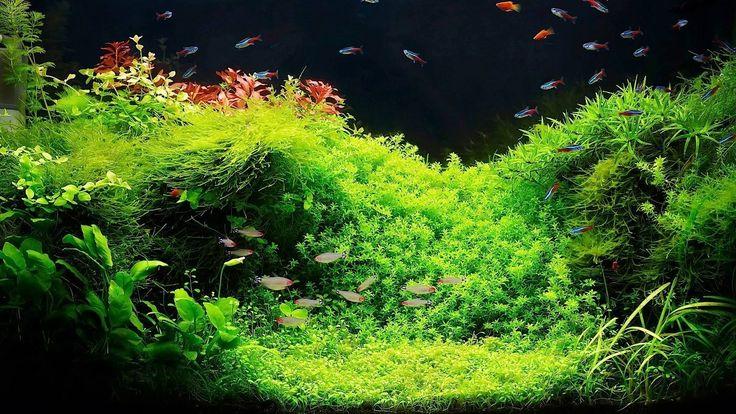 Live aquarium plants - Many aquarium plants you can plant in your aquarium. Especially valuable are carpet aquarium plants. Very popular carpet aquarium plants are: Glossostigma, Lilaeopsis, Eleocharis, Hemianthus and Micranthemum http://stores.ebay.co.uk/Live-Aquarium-Pond-Plants-Shop/Aquarium-plants-/_i.html?_fsub=4461477015&_sid=748828975&_trksid=p4634.c0.m322