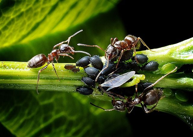 Ants in your beehive may be a sign of other problems. Like most hive pests, ants are opportunists that take advantage of weak and failing colonies.