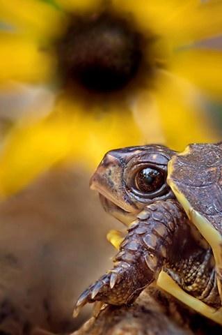 .Tortoise and sunflower