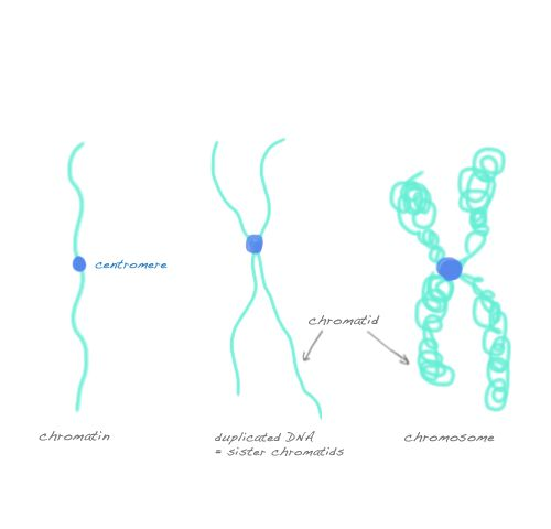 Chromatin, chromosomes, and Chromatids (mitosis & meiosis). I need this as a poster, I repeat this about a gagillion times a year! ;)
