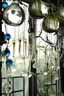 Plants strike roots in water in glass vessels hung from the ceiling.