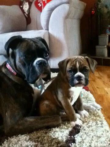 Reverse brindle boxer and boxer/bulldog pup