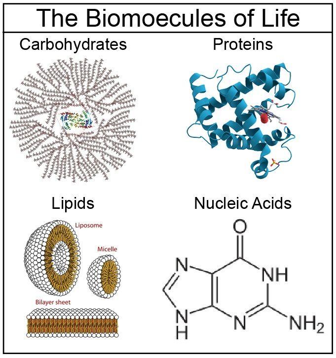 28 best macromolecules images on pinterest ap biology biology lessons and life science. Black Bedroom Furniture Sets. Home Design Ideas